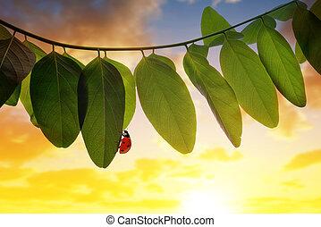 Ladybug on spring leaf of Acacia tree at sunset.