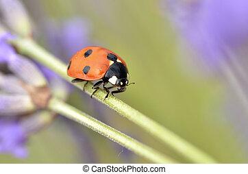 Ladybug on stem of lavender flower