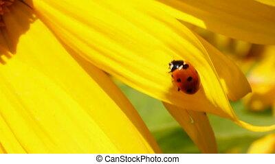 ladybug on sunflower macro