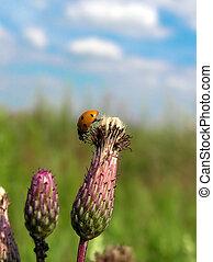 Ladybug on top