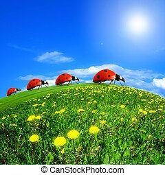 ladybug, på, mælkebøtte, felt