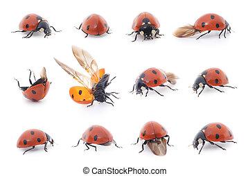 Ladybug set on white background - Ladybug Beetle collection ...