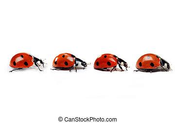 Ladybug - Seven-spotted ladybug isolated on  white. close up