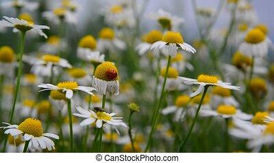 Ladybug sits on Field Camomile - A Ladybug sits on a Field...