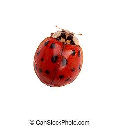 Ladybug - Tiny ladybug isolated on white background with...