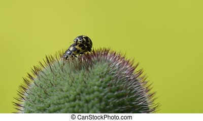 ladybugs mate in the Bud of the poppy - two yellow ladybugs...