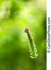 Ladybugs on grass summer background