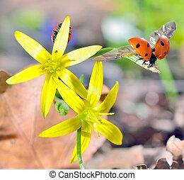 Ladybugs on spring flowers - Ladybugs Coccinella...