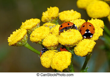ladybugs on yellow flower