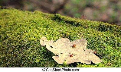 Ladybugs orange with black dots crawling on a dry oak leaf...