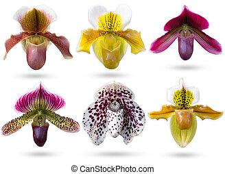 lady?s, 剪下的资料, 放置, multicolour, orchidaceae, 隔离, 拖鞋, paphiopedilum, 背景, 白色, path.