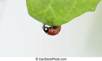 lady`s beetle