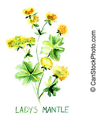 Ladys mantle herb, Watercolor illustration
