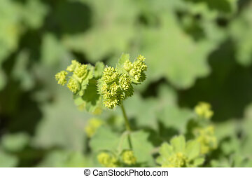 Ladys mantle - Latin name - Alchemilla colorata (Alchemilla cinerea)