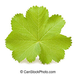 Lady's Mantle leaf isolated on white