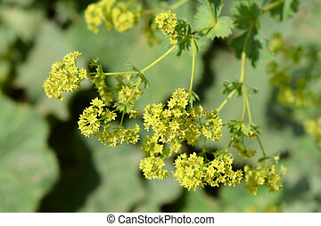 Ladys mantle yellow flowers - Latin name - Alchemilla colorata (Alchemilla cinerea)