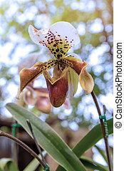 lady's slipper orchid (Paphiopedilum Callosum) - lady's ...