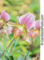 Lady's slipper orchid. Paphiopedilum Callosum