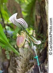 Lady's slipper orchid. Paphiopedilum Callosum.