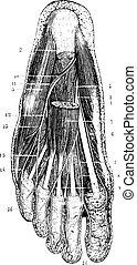 lag, sula, årgång, efter, yta, flytande, skinn, fot, ...