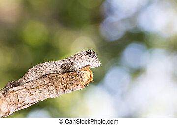 lagarto, árvore, jovem
