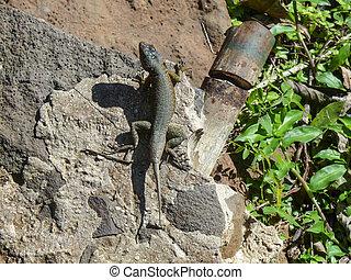 lagarto, en, en, iguazu parque nacional, argentina