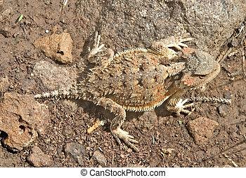 lagarto, más grande, short-horned