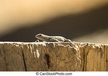 lagarto