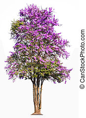 Lagerstroemia floribunda, tropical tree in the northeast of Thailand isolated on white background