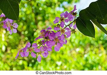 Lagerstroemia speciosa blossom - Pink lagerstroemia speciosa...