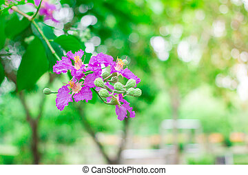 Lagerstroemia speciosa or Violet flowers. - Violet color of ...