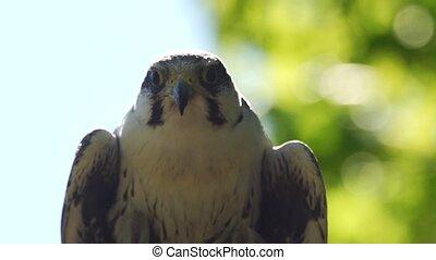 Laggar falcon - Falco jugger