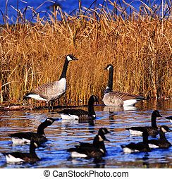 lagoa, gansos, vários, pântano, canadense