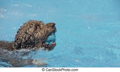 Lagotto romagnolo swims in the pool with a toy-ball