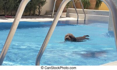 Lagotto romagnolo swims in the pool with a toy