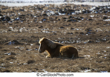 Laid brown Icelandic horse on a meadow in spring