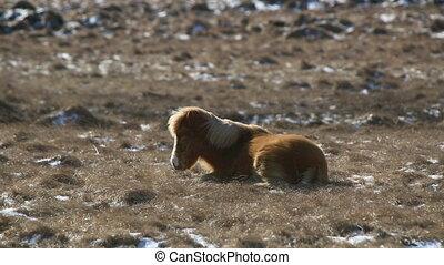Laid brown Icelandic horse withstan