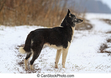 Laika , dog breed, hunting standing in front sniffing wild boar should