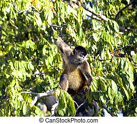 Spider Monkeys of the genus Ateles - Lake Nicaragua some 350...