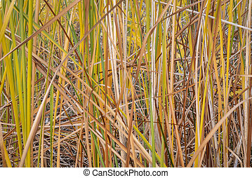 lake reeds background