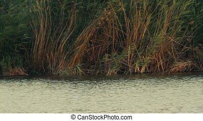Lake Reeds on the lake Golbasi