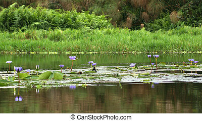 Lake Victoria near Entebbe - waterside scenery around the...