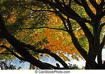 Silhouetted view of Japanese Maple tree trunk and branches, while the leaves are in beautiful autumn colors of yellow and green. Beyond the tree and seen slightly twards the bottom of photo frame is the waters of Lake Washington.