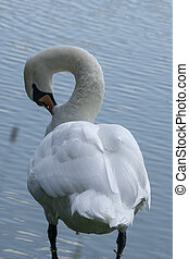 Lake with a white swan. Portrait of beautiful bird.