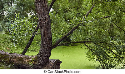 Lake with duckweed in the summer