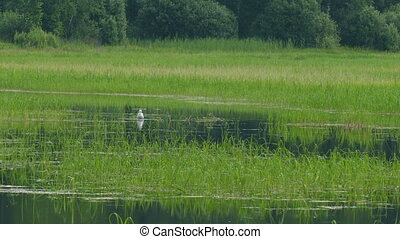 Lake with green reeds and Gull bathing summer day UHD