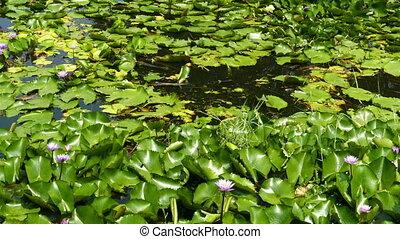 lake with lotus flowers