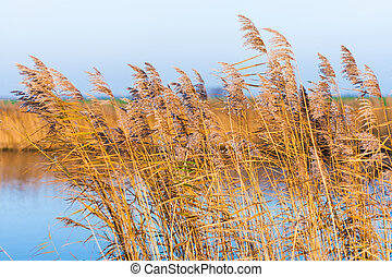 lake with reeds