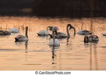 Lake with swans at sunset