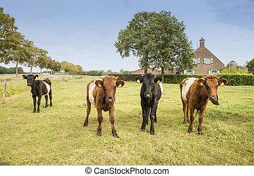 lakenvelder, koe, kalf